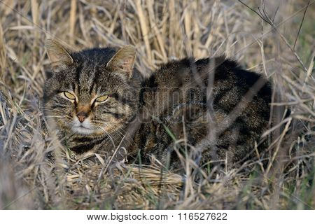 European Wildcat on field in spring