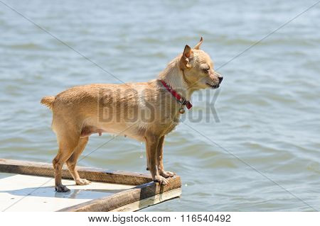 Swim In The River Chihuahua Standing On A Wooden Table, View Profile