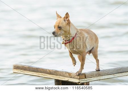 Chihuahua Dog Standing On Wooden Table Near The River