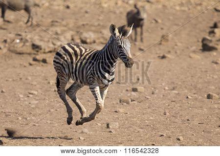 Zebra Foal Running Away From Danger To Mom