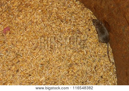 Grey Mouse On The Wheat