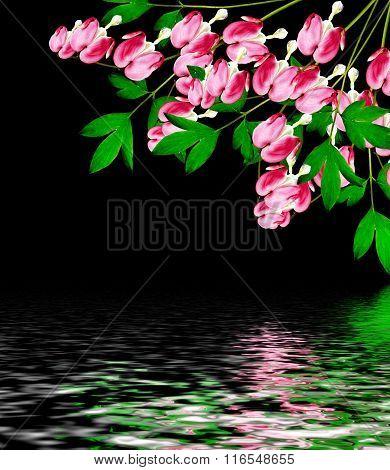 Pink Bleeding Heart (lamprocapnos Spectabilis) Flowers On Black  Background