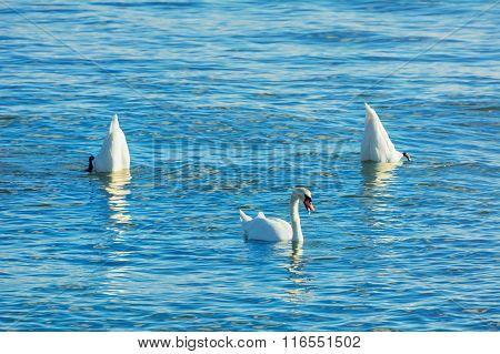 Dance Of Swans