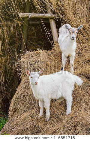 Two White Goatlings