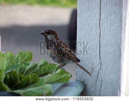 Male House sparrow portrait