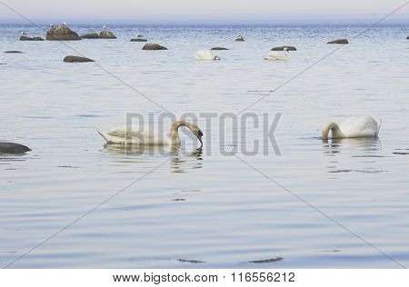 Swans On The Seaside