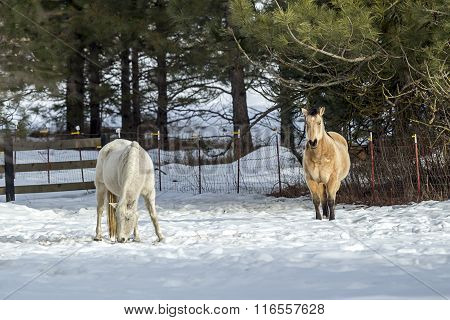 White And Brown Horse In Snowy Field.