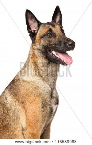 Belgian Malinois Shepherd Dog