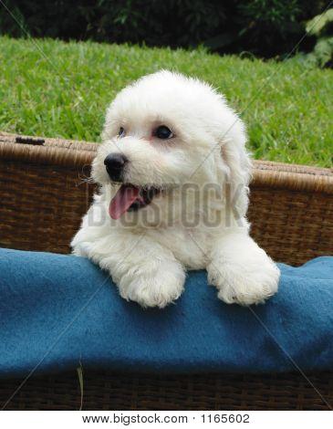 Bichon Cachorro