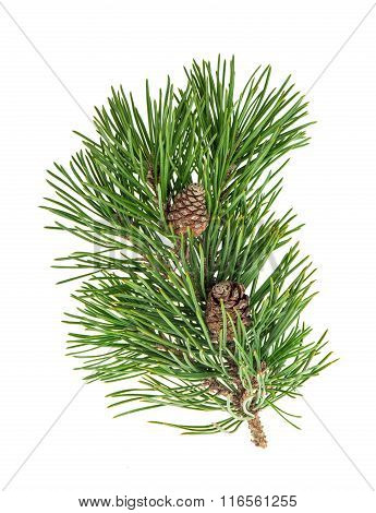 Pine Tree Branch With Cone Over White Background