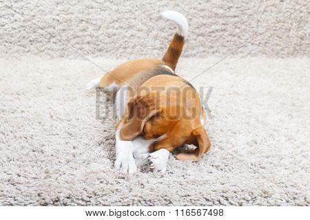 Beagle Dog Relaxing