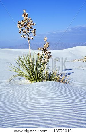 Yucca In White Dunes National Monument