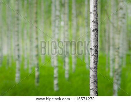 Birch Tree In Forest
