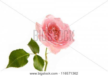 orange rose flower isolated
