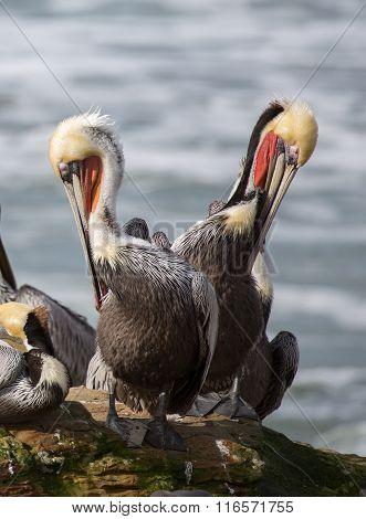 A Pod of Brown Pelicans, Pelecanus occidentalis