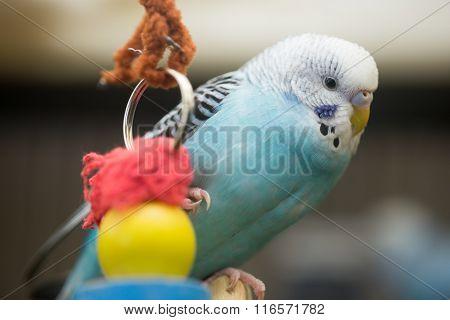 Budgerigar (Parakeet) - Melopsittacus undulatus