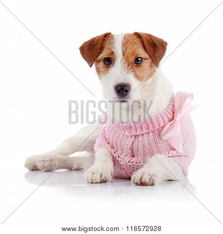 Doggie Of Breed A Jack Russell Terrier In A Pink Jumper