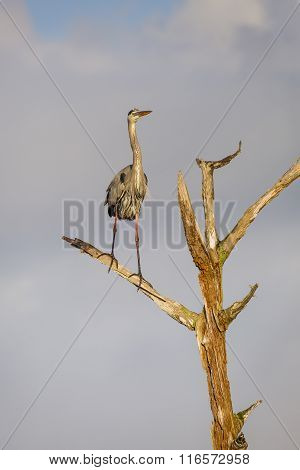 Great Blue Heron Perched In A Dead Tree - Florida