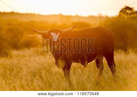 Bull at Sunset
