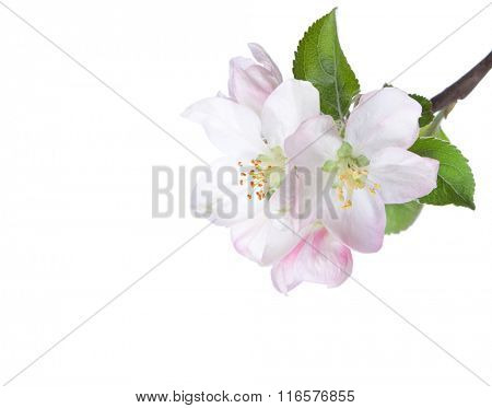 Closeup of blooming apple twig  isolated on white. Focus on near flower.