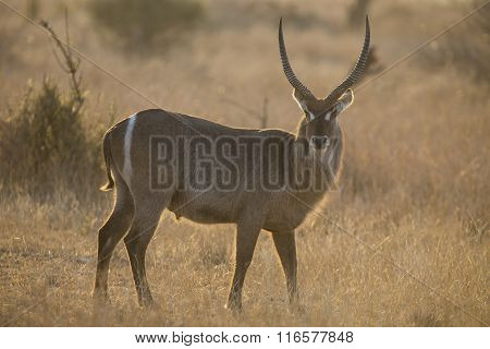 Waterbuck Bull At Sunset With Sun From Behind