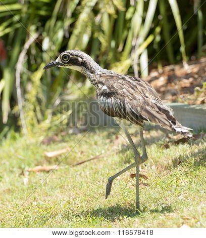 Bush Curlew Bird Australia