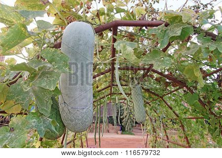 Gourd Or Winter Melon On Tree
