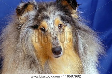 Dog collie marble