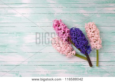 Fresh Pink Hyacinths Flowers  On  Turquoise Painted Wooden Background.