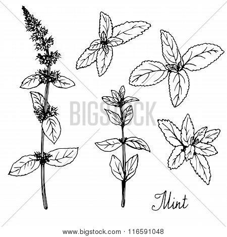 hand drawn mint plants
