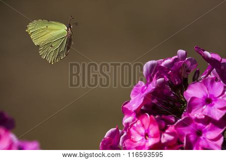 brimstone butterfly in flight