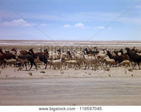 Herd Of Llamas At Altiplano Desert