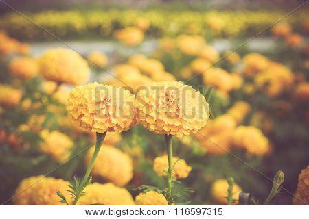 Marigold Flower In Garden On Vintage Retro Color Tone