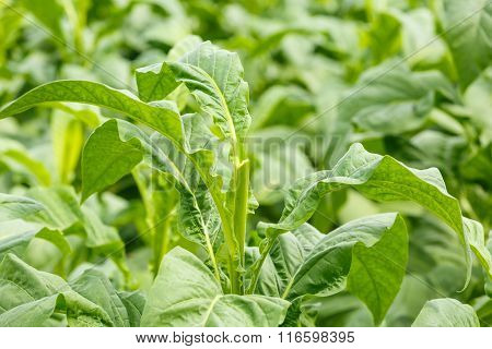 Tobacco Plant On Countryside Of Thailand
