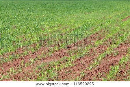 Close Up View Of Green Field With Corn At Sunny Summer Day
