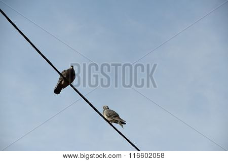 Two Pigeons On Wire