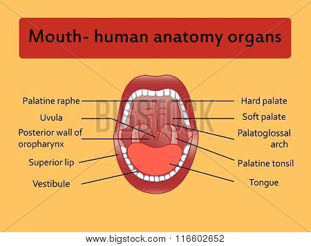 Parts of Human mouth.