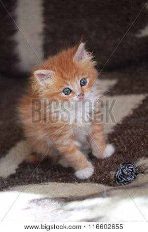 Young ginger Siberian cat.