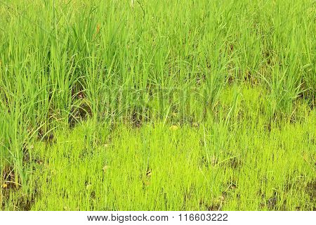Part of young green paddy rice under sunrise