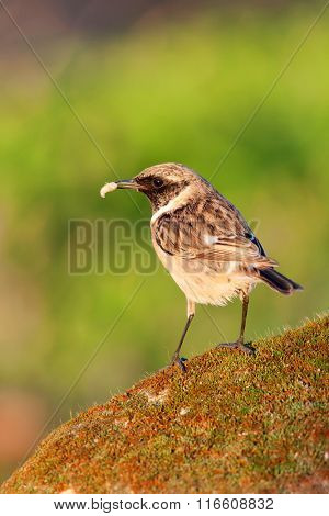 Pretty bird perched on a stone with moss on nature