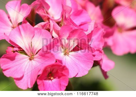 Flower Geranium close-up abstract