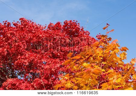 Autumnal Deciduous Trees In Intense Colors