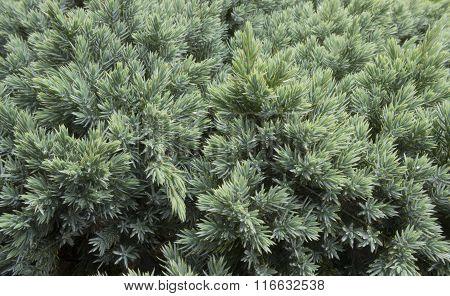 Evergreen juniper