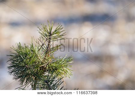 Pine Branches With Small Snowflakes Close Up