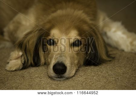 Afghan Collie cross
