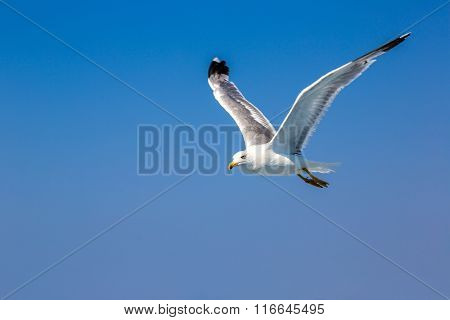 Big Seagull In Sky