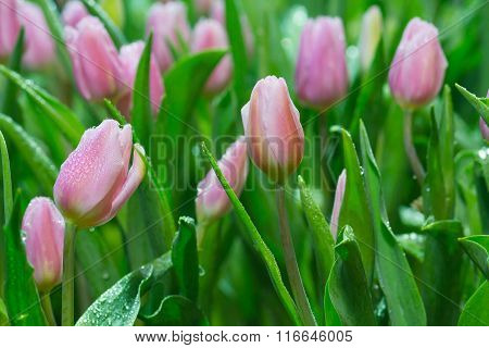 Tulip. Beautiful bouquet of tulips. colorful tulips. Tulips in spring,