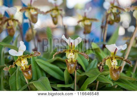 Beautiful yellow orchids flower tree. (Paphiopedilum)