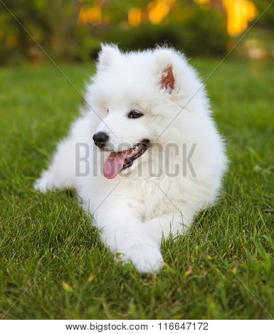 Funny Samoyed Puppy In The Summer Garden