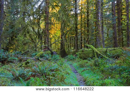 Trees in Hoh Rainforest